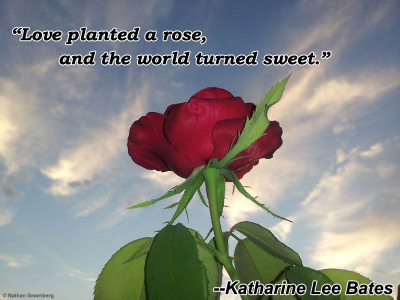 I photographed this rose to wish my wife a good morning