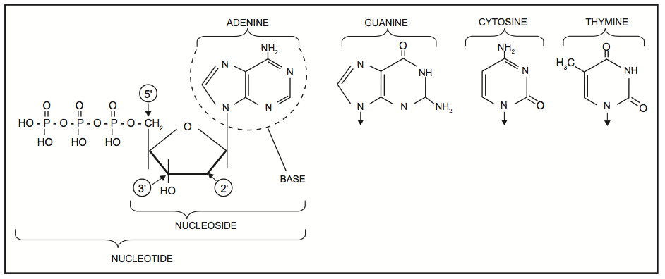 Structures of the bases, with adenine/adenosine/adenylate