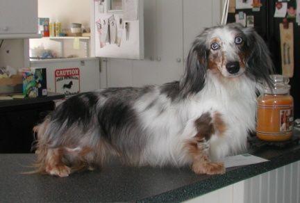 New Page 1 Dachshund Love Weiner Dog Wiener Dog