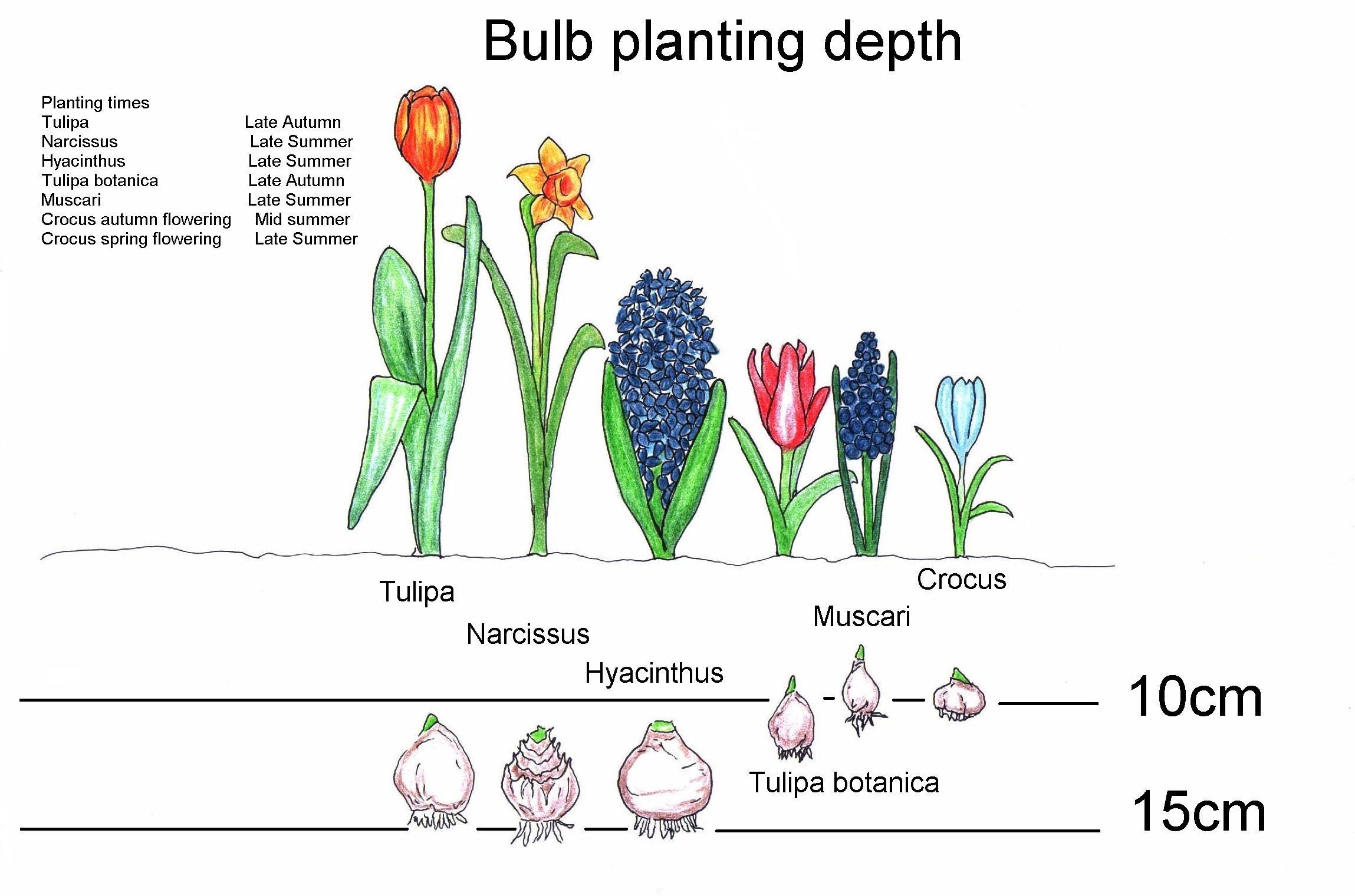 Bulb Planting Times And Depth Planting Bulbs Fall Plants Garden Bulbs