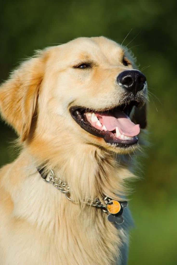Head Shot Of Happy Golden Retriever Goldenretriever Golden Retriever Retriever Dogs