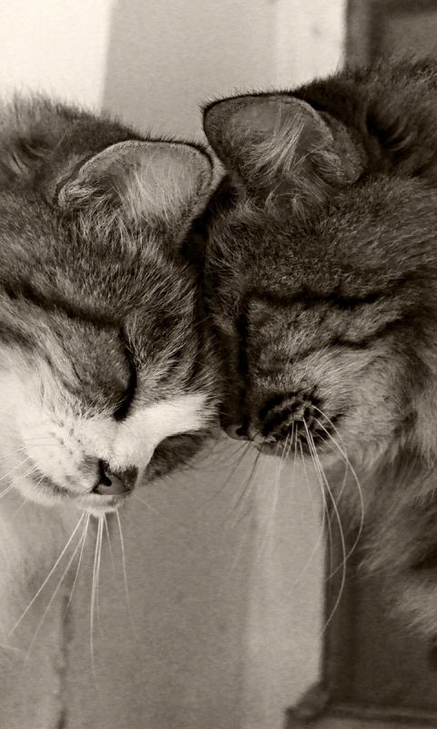 480x800 Wallpaper couple, cats, playful, caring, tender, fluffy, black and white