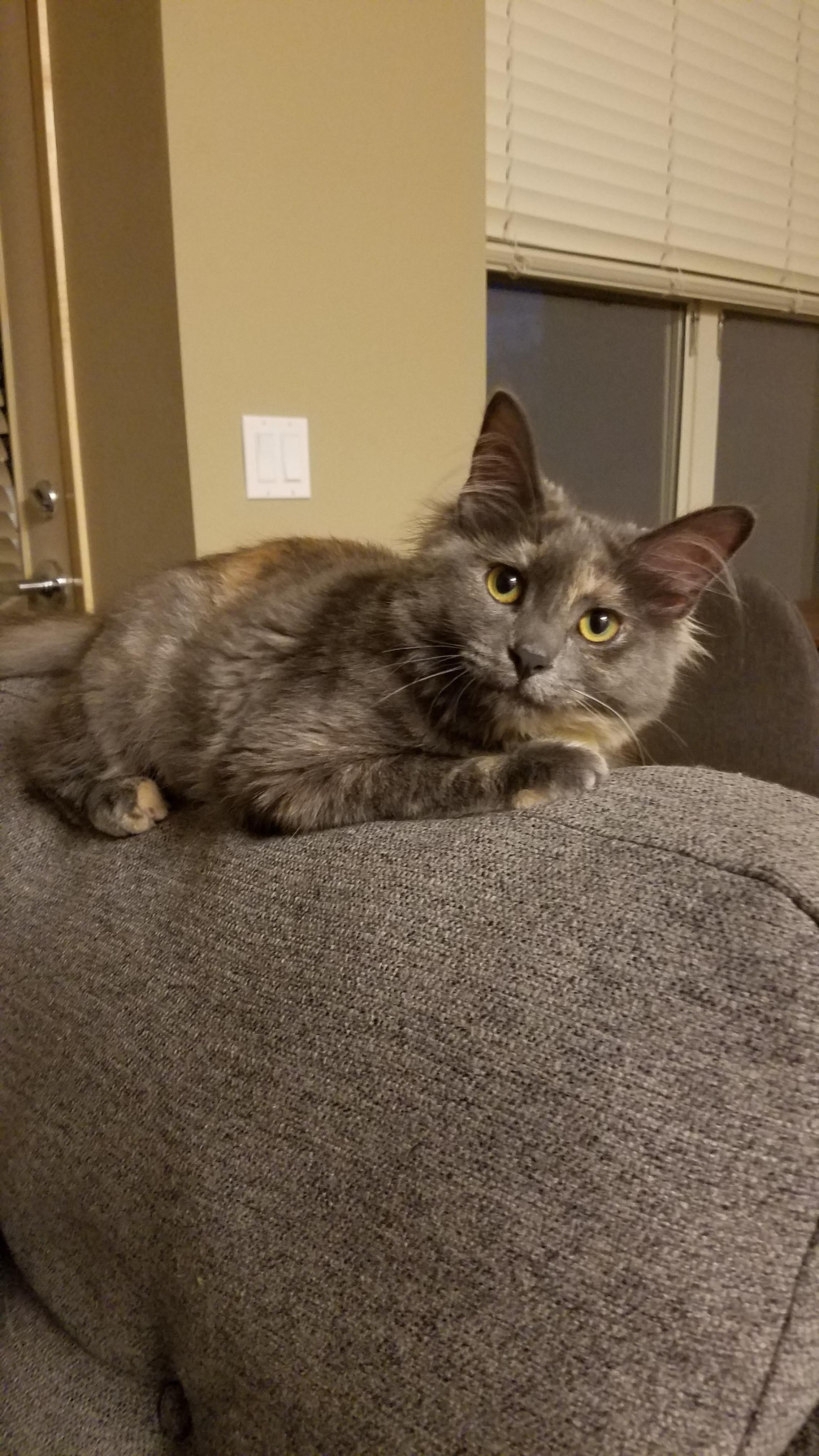 Meet Hazel my rusty patch cat. Cute cats, Cats, Kitty