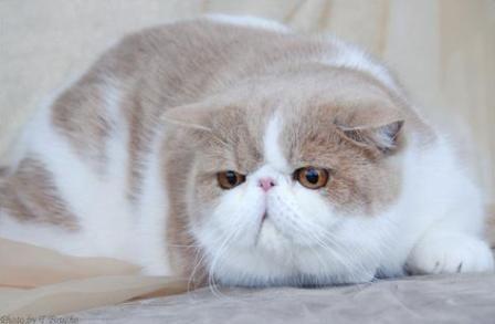 Pin On Exotic Short Hair Cats