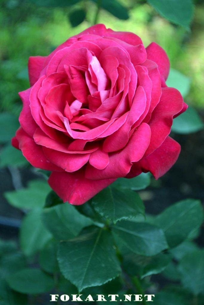 Тёмно-розовая роза в саду | Розы, Розовые розы