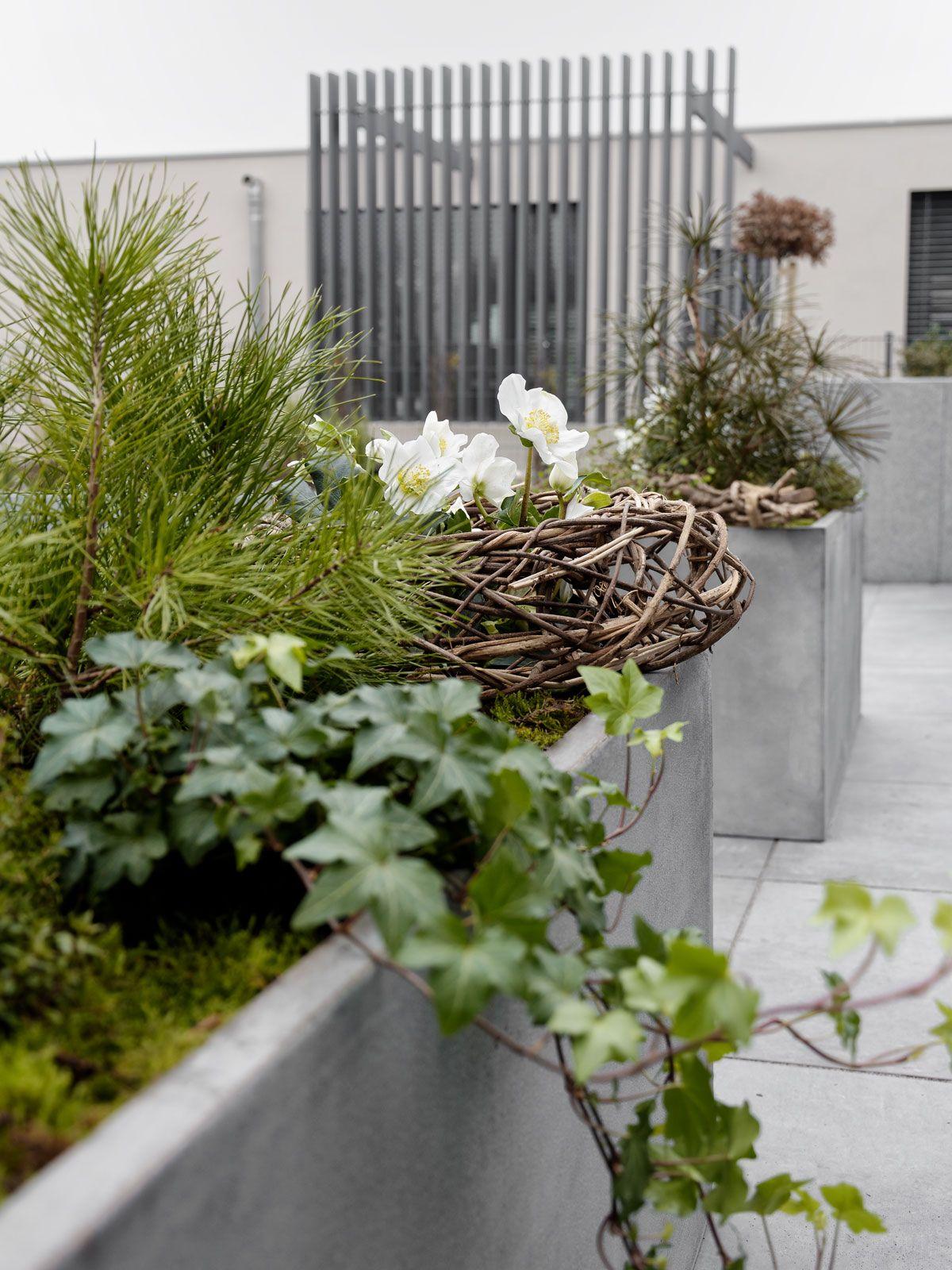 Pflanzk bel auf der terrasse mit dekoration helleborus for Dekoration garten