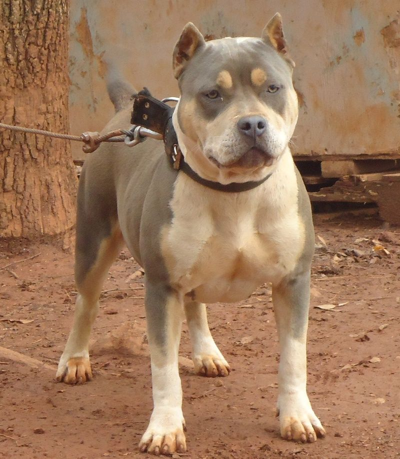 American Bullies And Razors Edge Pitbulls With Images Bully