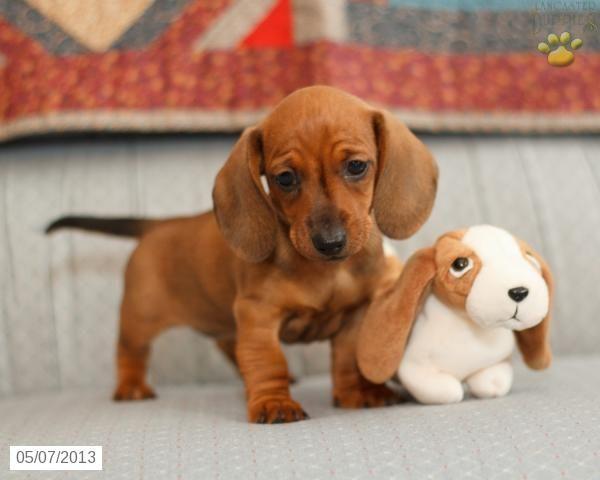 Sweet Baby Dachshund With His Toy Baby Dachshund Mini Puppies Dachshund Puppies