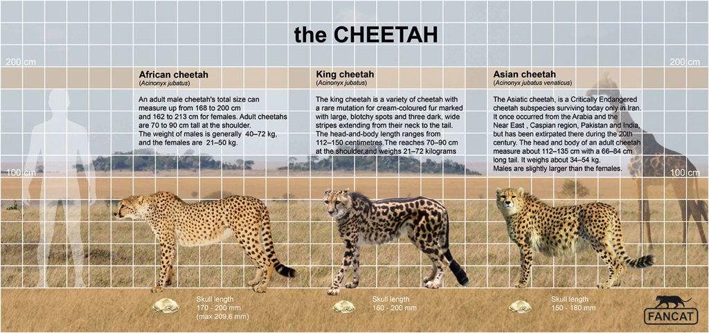 The Cheetah Size By Bigfancat American Lion Lion Size Cheetah