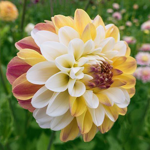 Buy Premium Dahlia Flowers- Brecks Bulbs | Dahlias | Pinterest ...