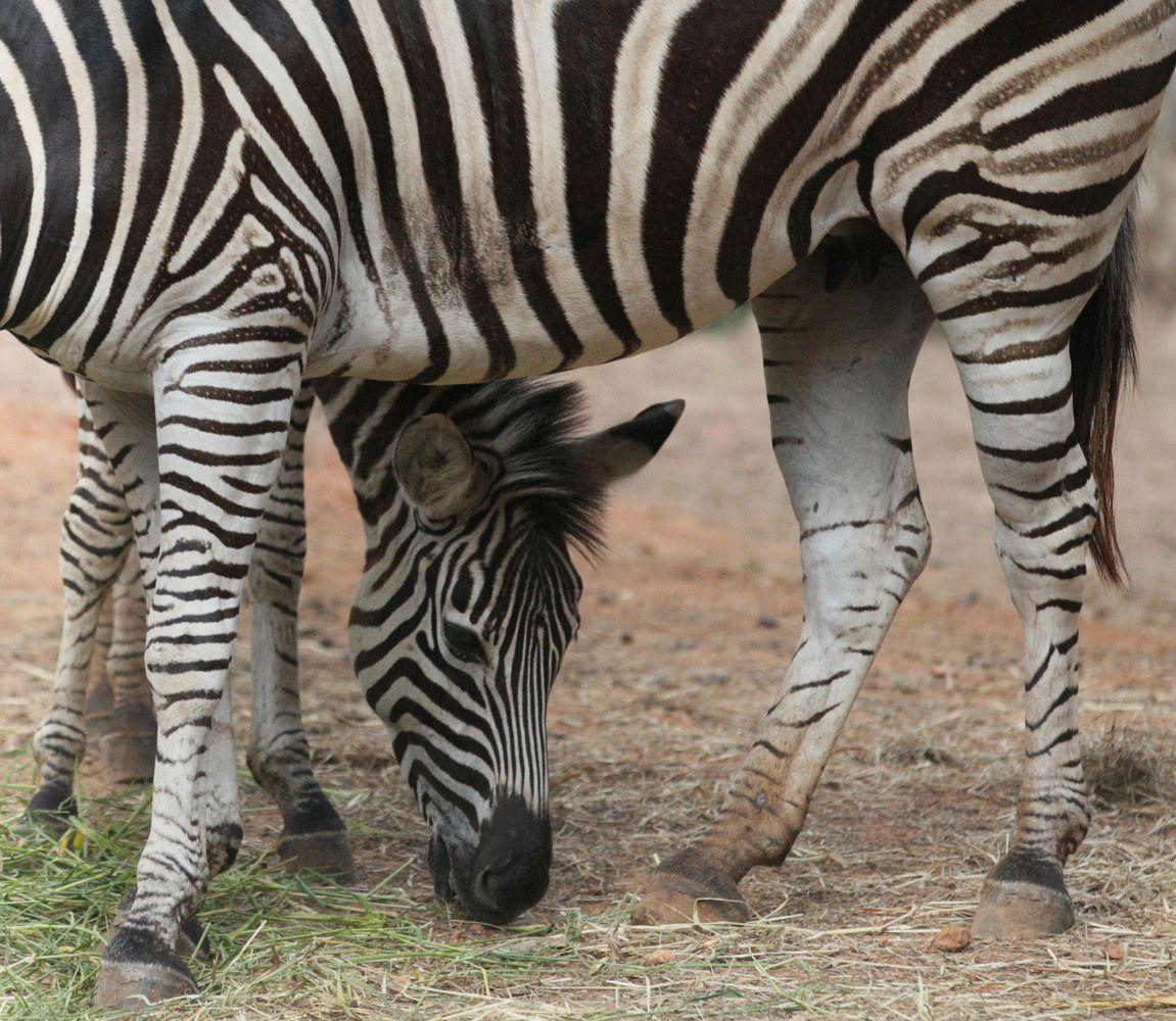 Zebras Baby Elephants Giraffes And More Animal Photos