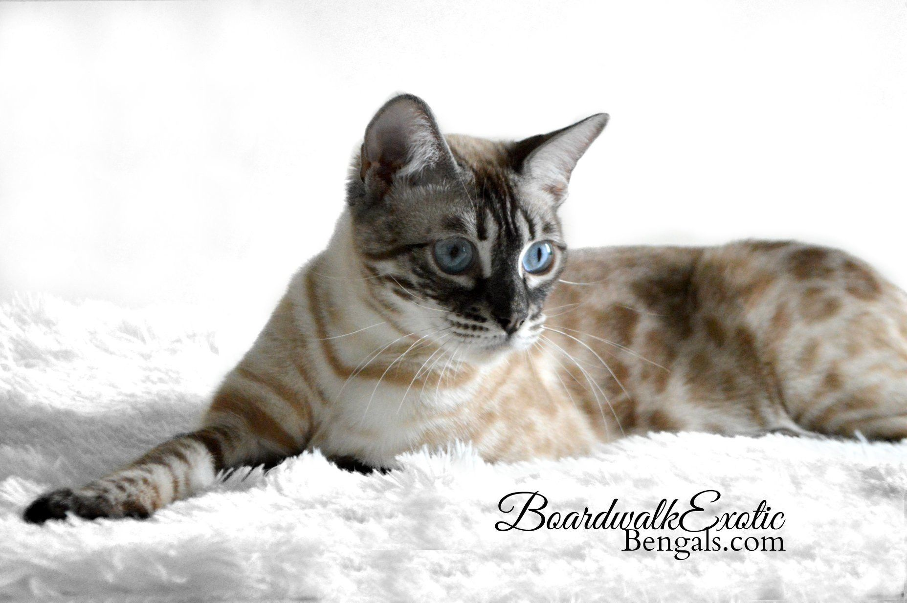 Icy my Silver Charcoal Snow Lynx F4 female beauty Cats