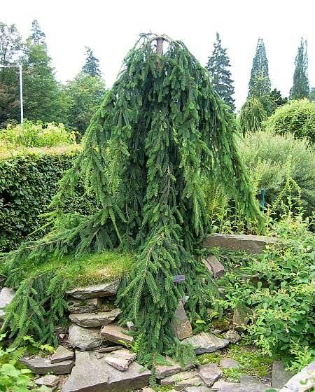 Specimen planting weeping norway spruce kim smithtree for Weeping garden trees