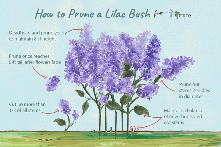 How To Prune Lilac Bushes Prune Lilac Bush Lilac Gardening Lilac Plant