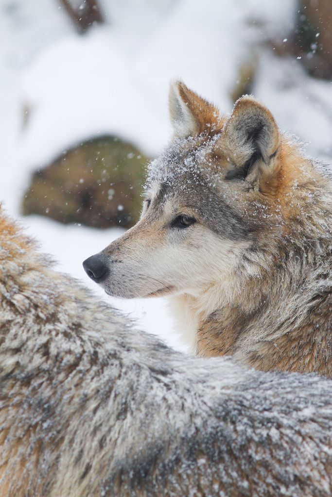 """Beautiful Wolf """" Untitled by Mark Dumont """""""