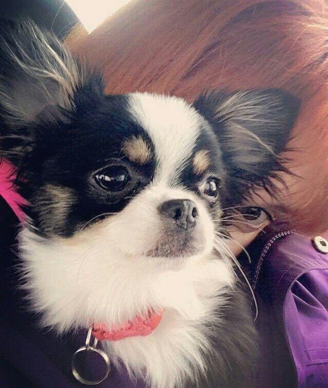 Pin On Chihuahua Love
