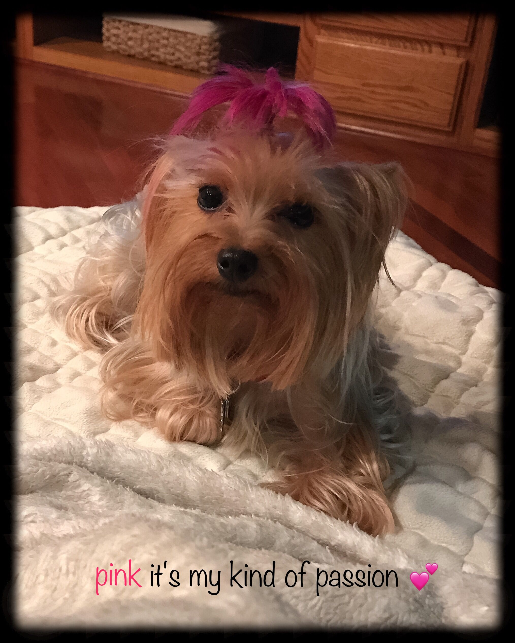 Penny My Yorkie Has A Pinkhair Top Knot Pink Its My Kind Of