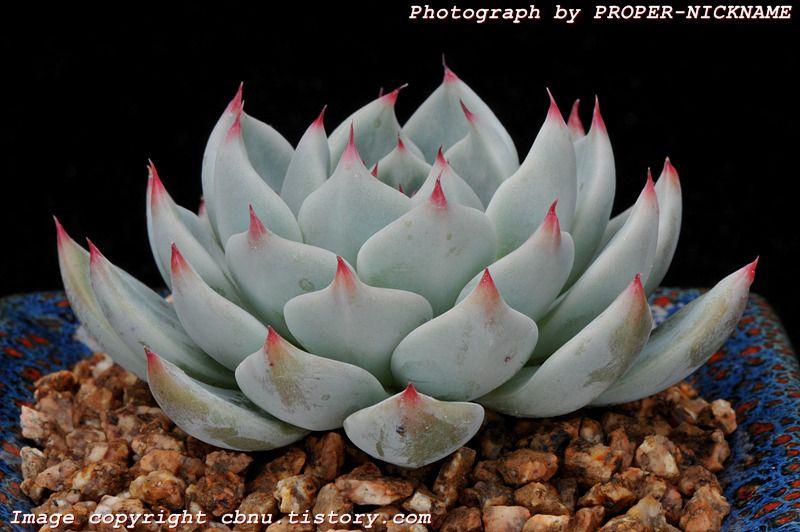 Succulent   蓮座美人系