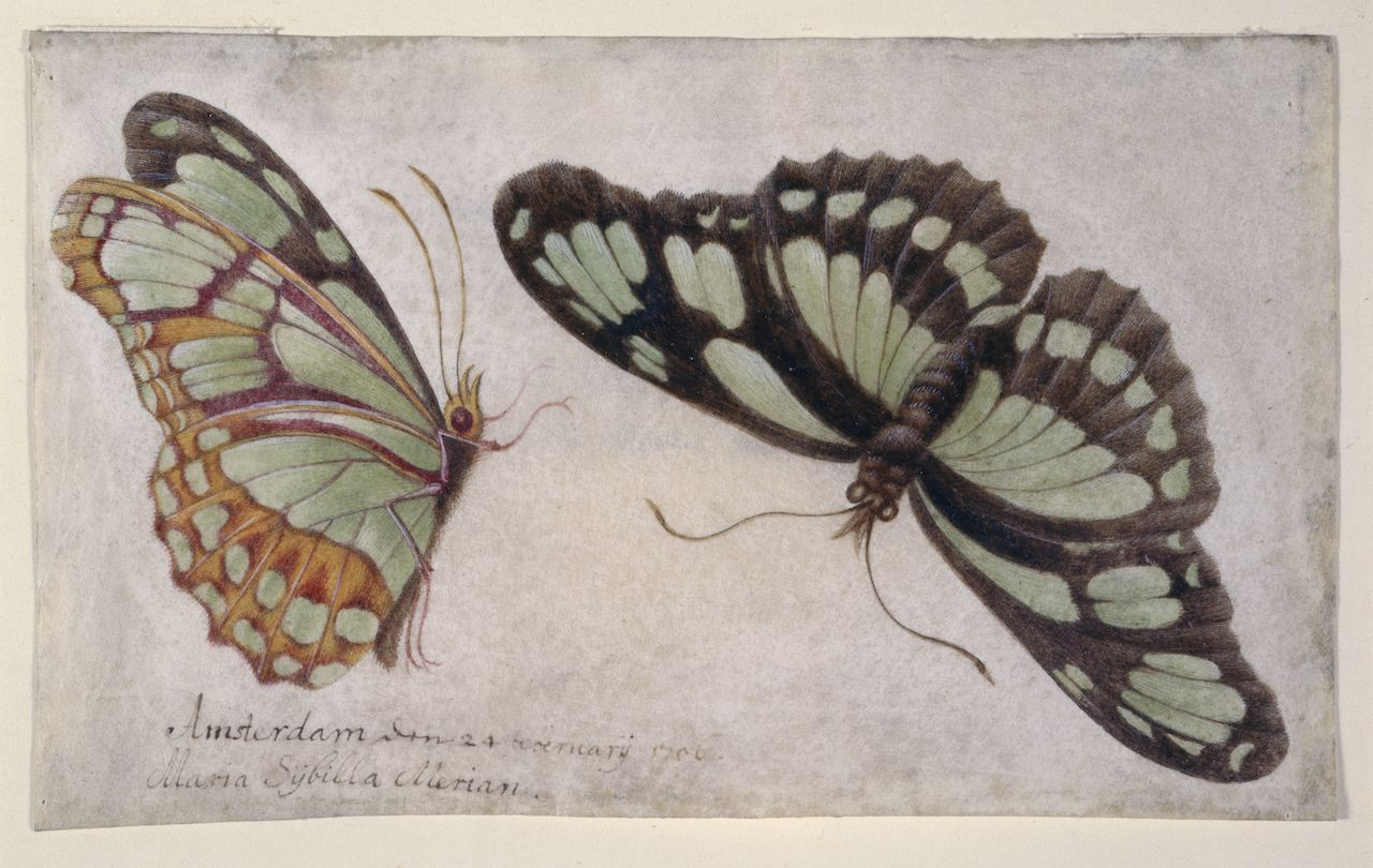 "Maria Sibylla Merian, ""Zwei Schmetterlinge (Two Butterflies)"" (1706) (courtesy Germanisches Nationalmuseum, Nuremberg)"
