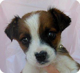 Australian Shepherd Boxer Mix Puppies Australian Shepherd Boxer