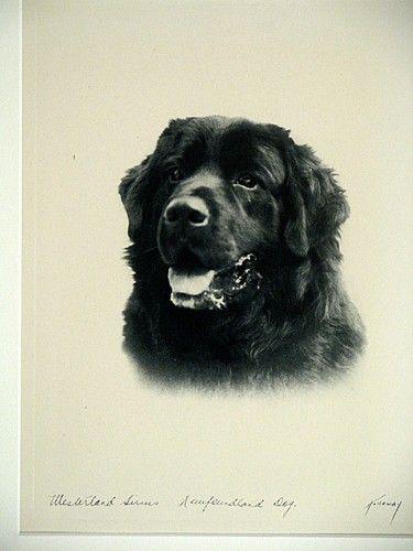WESTERLAND SIRIUS A NEWFOUNDLAND DOG * c1930s Landseer