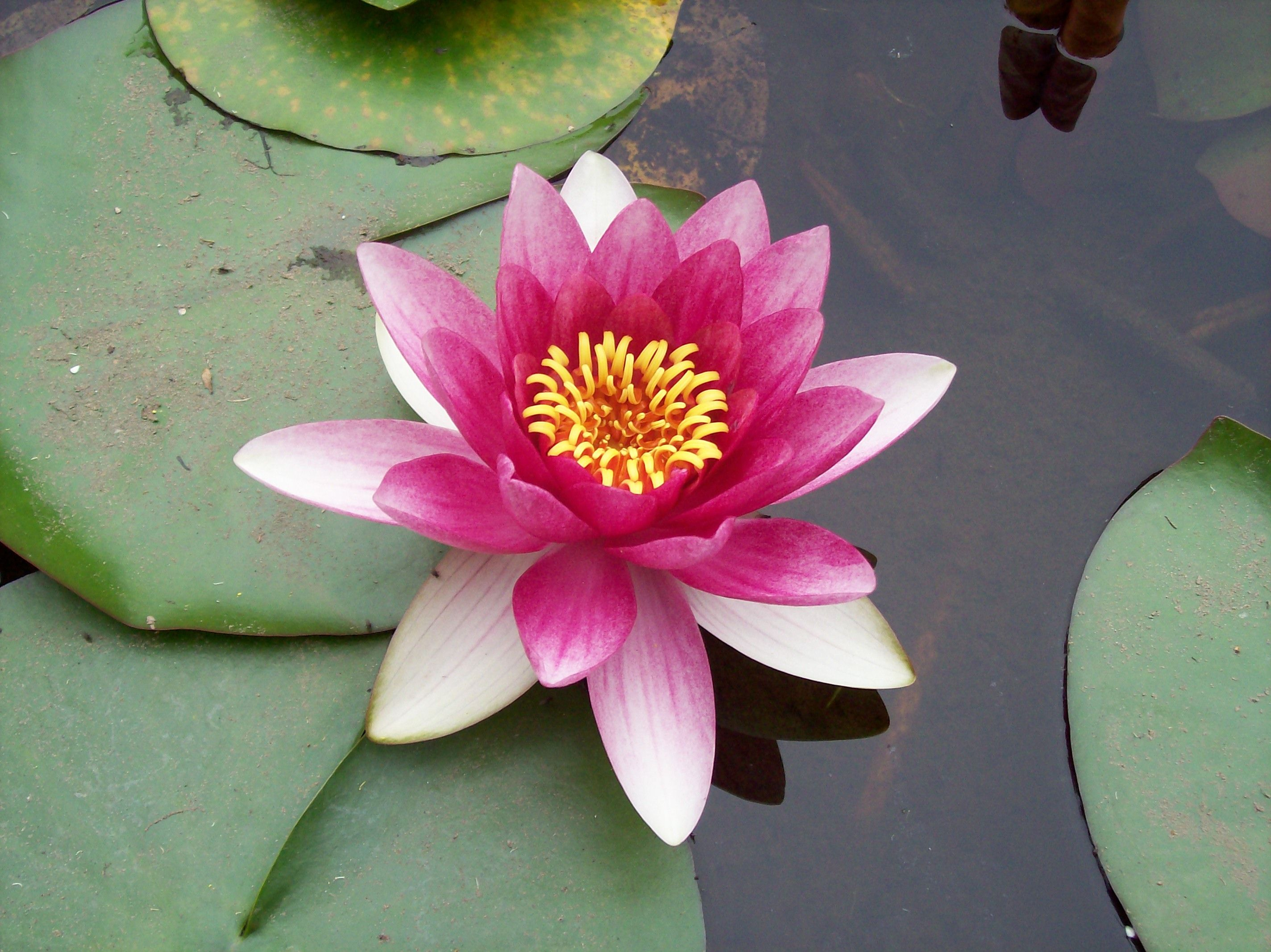 Pink Lotus Flower And Its Meaning Symbols And Meanings Pinterest