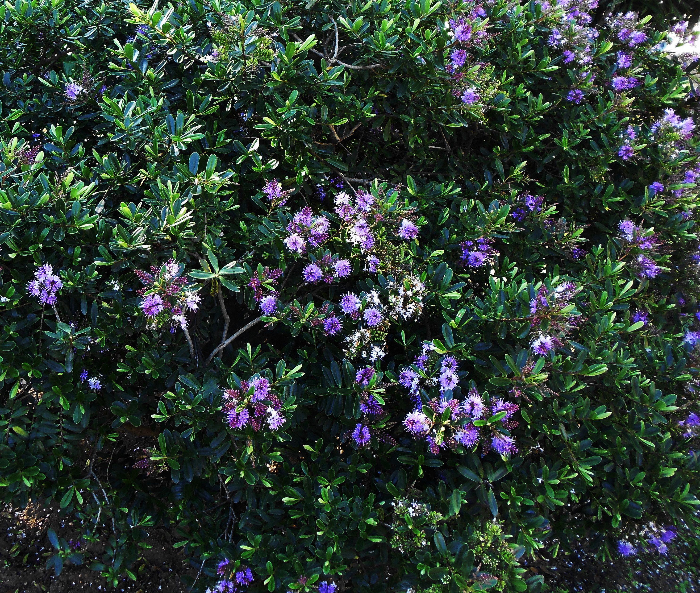Ver nica hebe speciosa arbustos y arboles ornamentales for Hebe arbusto