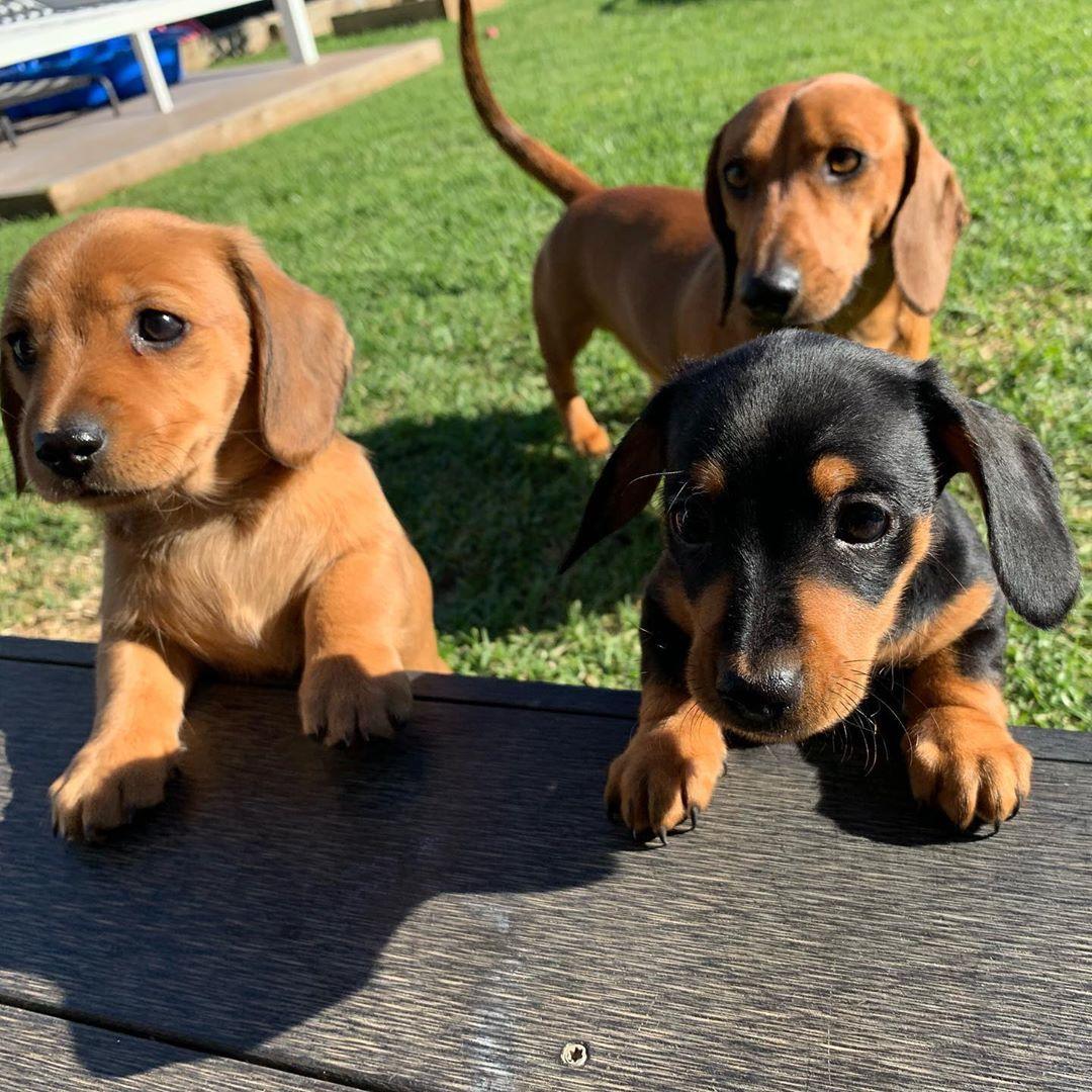 Dachshund Puppies Via Dachshund Luna On Instagram Dachshund Puppies Cute Puppies And Kittens Dachshund Love