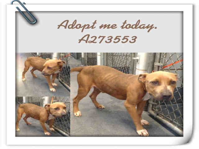San Antonio Tx Badger Pit Mix Petharbor Com Animal Shelter