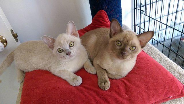 burmese Natmac kittens 2619_BURST008 Burmese kittens