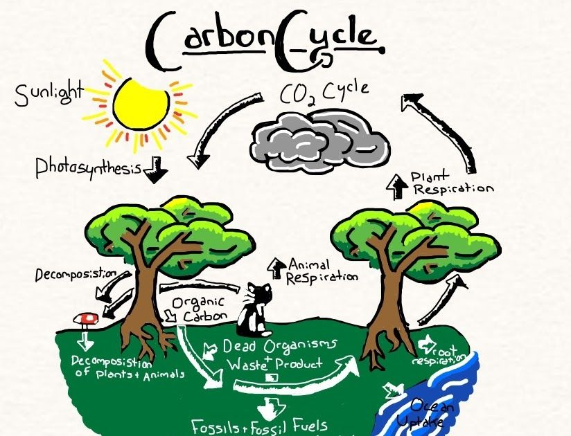 Green Plants Use This Carbon Dioxide And Prepare Their Food As Carbohydrate By The Process Of Photosynthesis To Become Part Of The Carbon Cycle Carbon Atoms St Di 2020