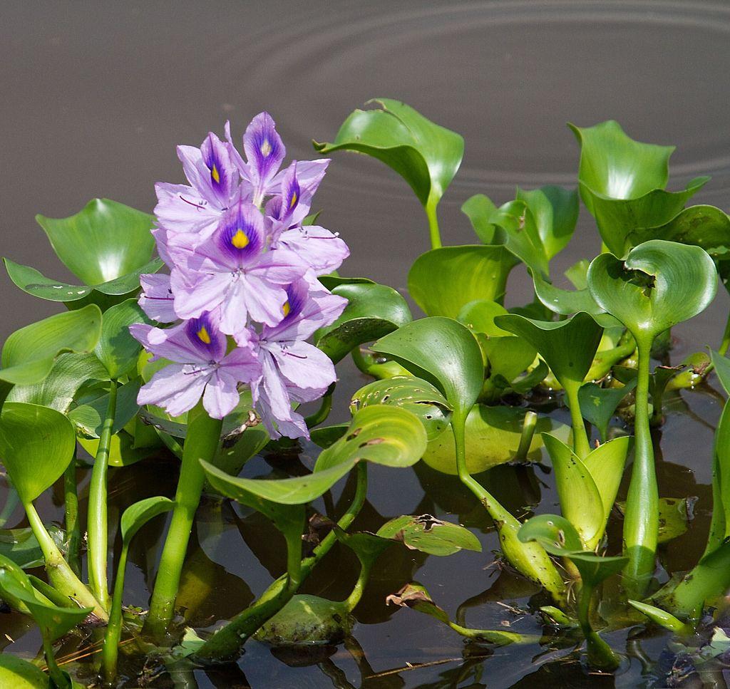 ஆகாயத் தாமரை / Water Hyacinth (With images) Sawdust uses