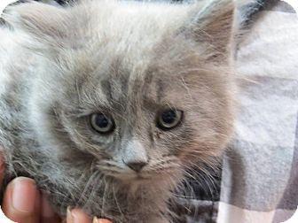 Charleston, WV - Domestic Mediumhair. Meet Frank, a kitten for adoption.      Breed: Domestic Mediumhair     Color: Gray Or Blue     Age: Kitten     Sex: Male     Hair: Medium  http://www.adoptapet.com/pet/10941511-charleston-west-virginia-kitten