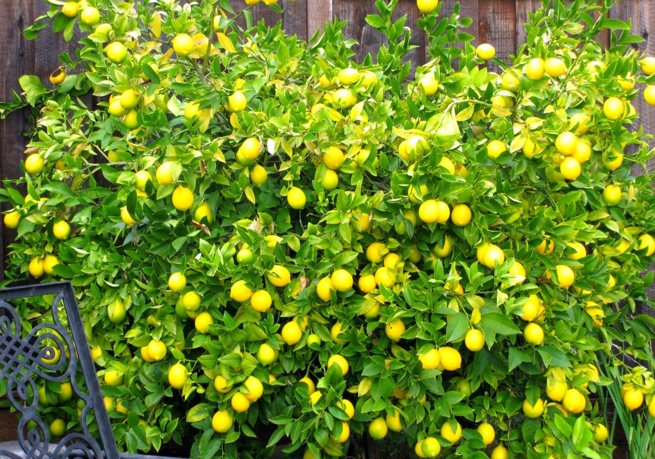 Meyer Lemon Tree Anya S Garden Perfumes