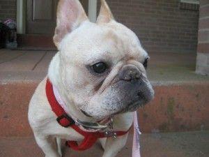 Adopt Maddie On French Bulldog Dogs Adoption