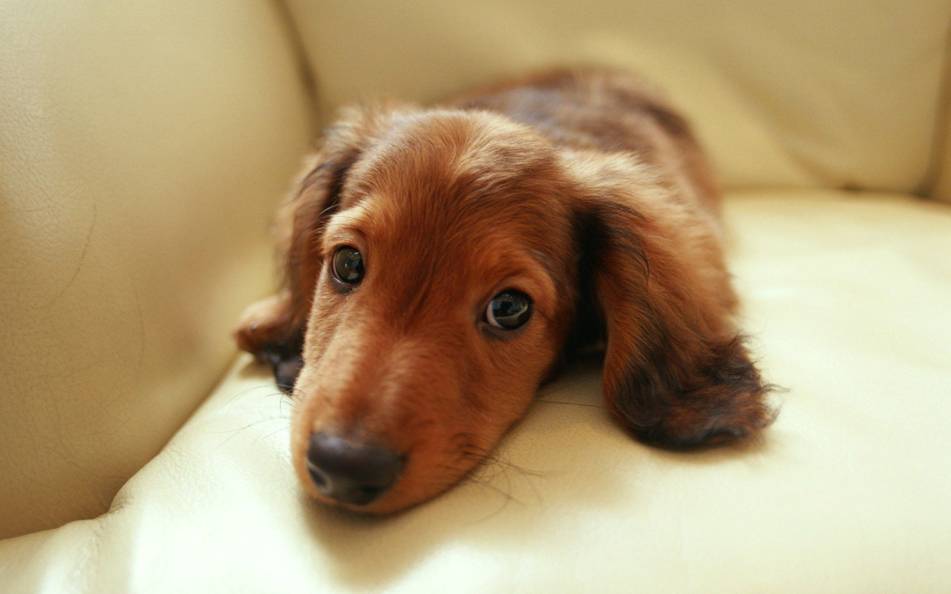 Dachshund Puppies Miniature Dachshund Puppies Wallpapers Puppy