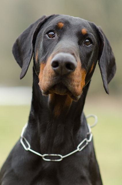 Doberman With Images Doberman Pinscher Dogs Doberman