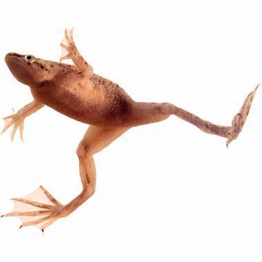 African Dwarf Frog Hymenochirus Curtipes Wild Creations Dwarf Frogs African Frogs African