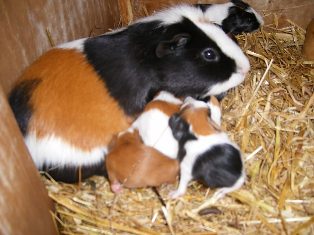 Baby Guinea Pig Care Food
