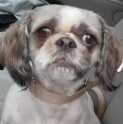 Adopt Comet A Lovely 3 Years Dog Available For Adoption At Petango Com Comet Is A Shih Tzu Mix And Is Available At The Animal Rescue League Shih Tzu Dogs