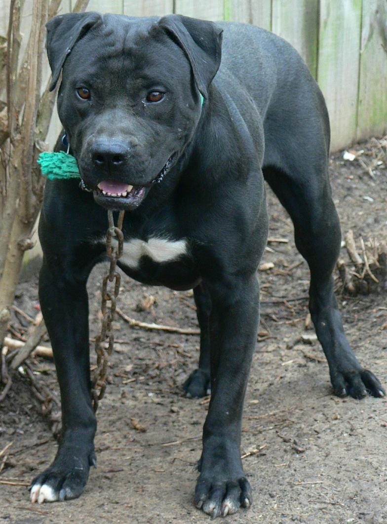 Pure Black American Bulldog | One for Our Petey-saurus Rex ...