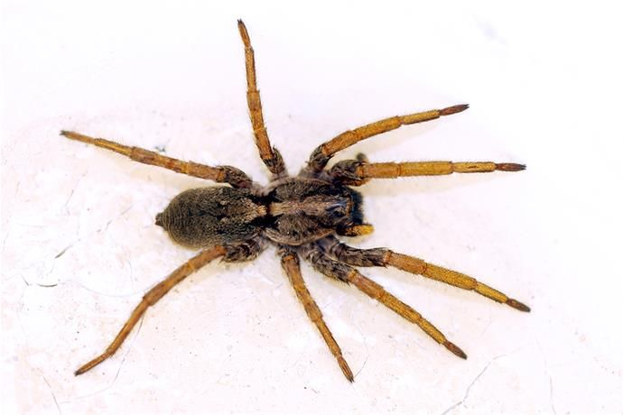 Mild Winter, Drought Brings More Brown Recluse Spiders | Oklahoma ...
