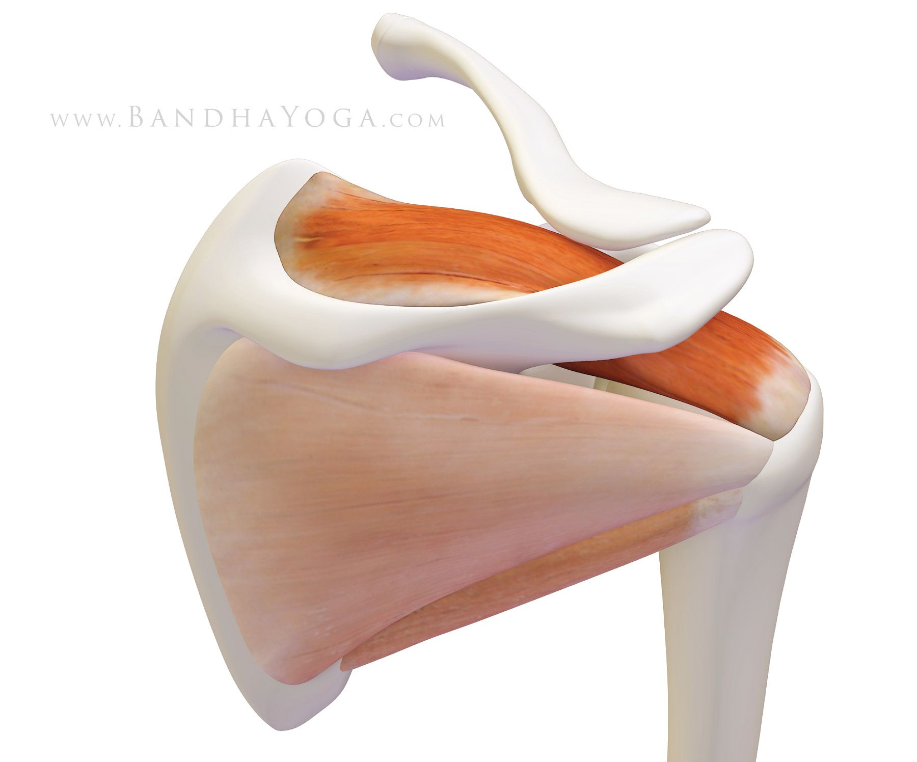 The Daily Bandha Shoulder Biomechanics Part Iii The Supraspinatus
