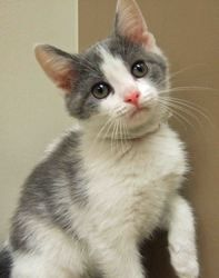 Amelia Is An Adoptable Domestic Short Hair Gray And White Cat In Plainfield Il Amelia Is A Cute Playful Little Grey And White Cat Pretty Cats Cute Animals
