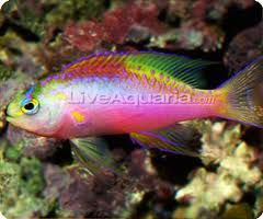 anthias - Google Search