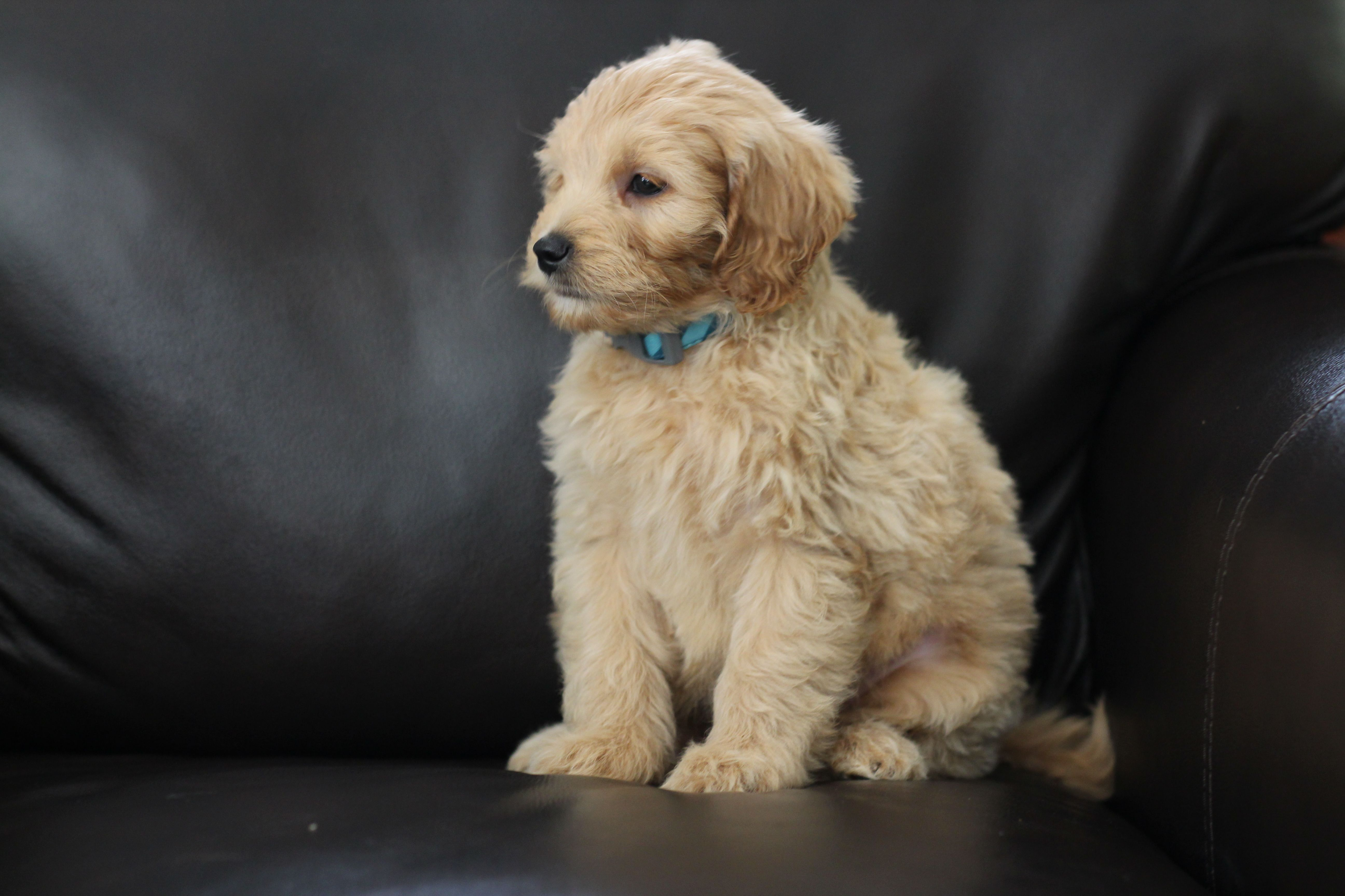 River Valley Goldendoodles Puppy Breeder In Ny Near Pa Near Nyc Mini Goldendoodle Puppies Goldendoodle Puppies