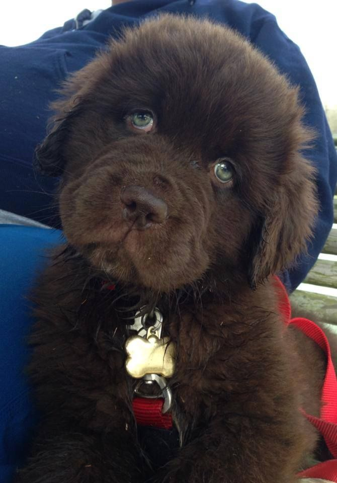 Sweet Baby With Green Eyes Landseer Dog Cute Dogs Newfoundland