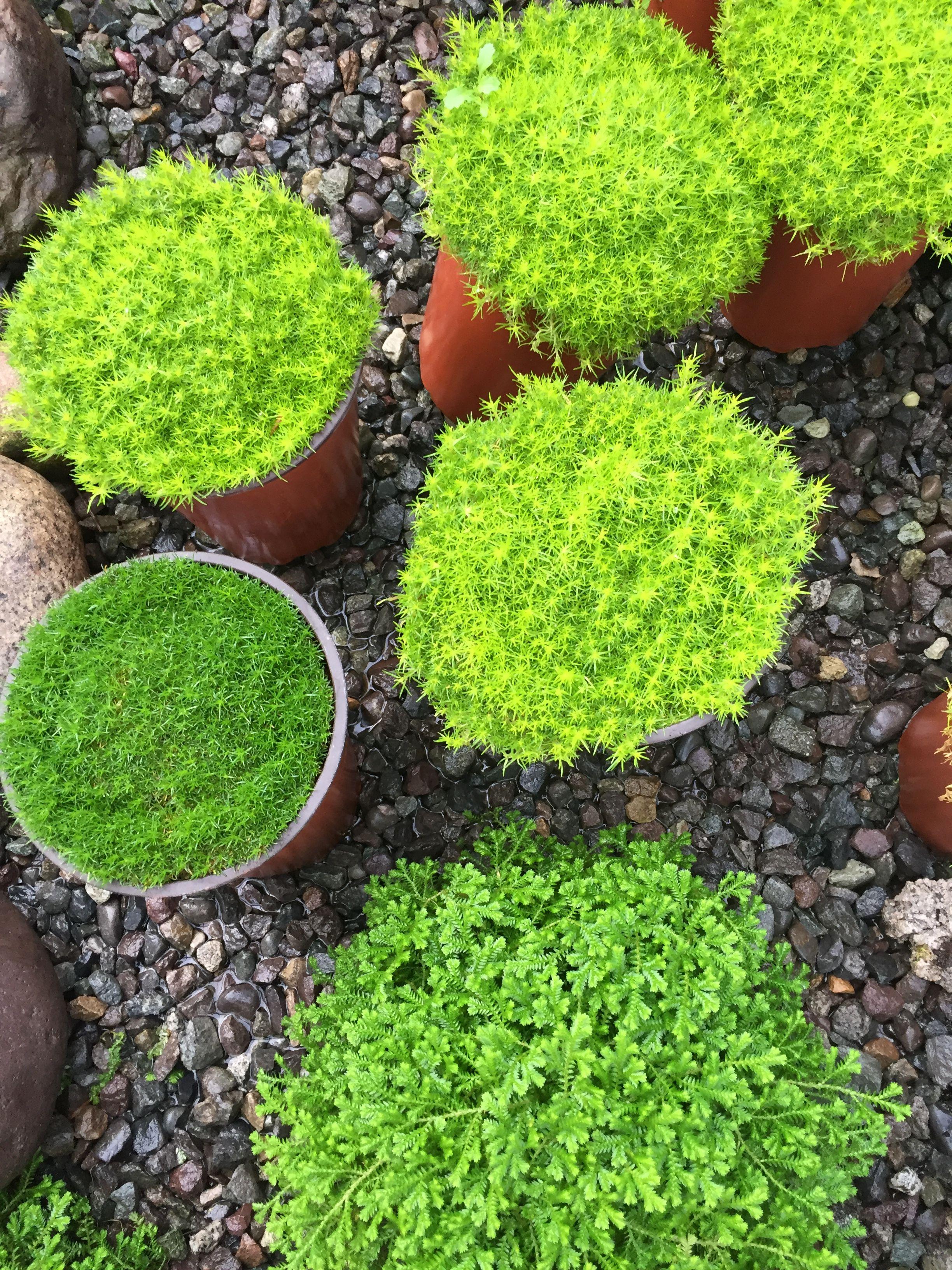 tipos de musgos plants for shade plantas para sombra