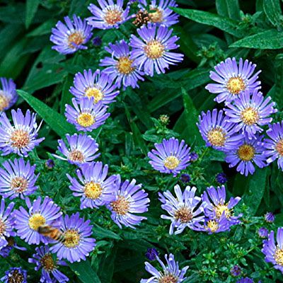 How To Divide Asters Tips For Spitting Aster Plants In The Garden Flower Landscape Plants Vegetable Garden Design