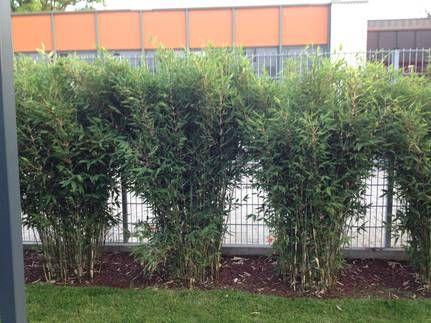 Awesome Bambus Chinese Bamboo Dreams Fargesia uBlue Dragon u
